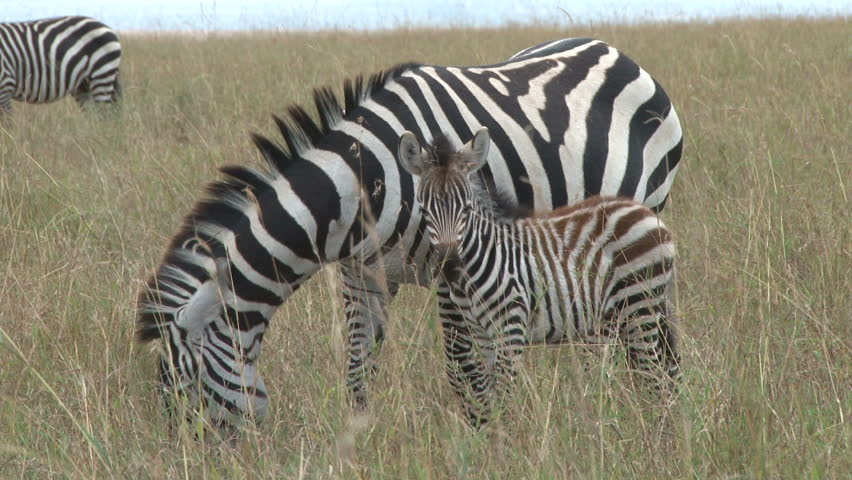 Zebra with a baby grazing together | Shutterstock HD Video #4076224