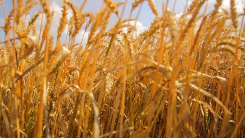 Wheat Field Caressed by Wind Crane Shot NAture Background Health Concept HD