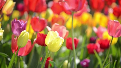 Multiple Colored Tulips in a Garden Blowing in the Wind