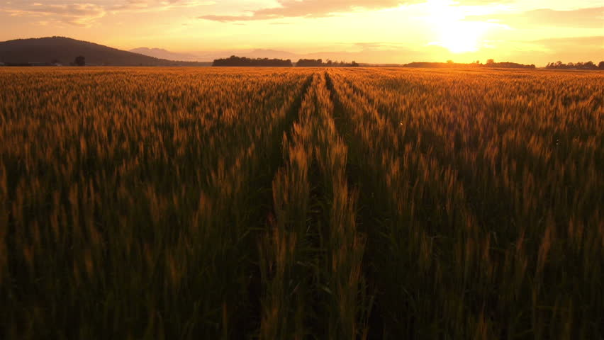 AERIAL: Flight over the wheat field in sunset | Shutterstock HD Video #4190917