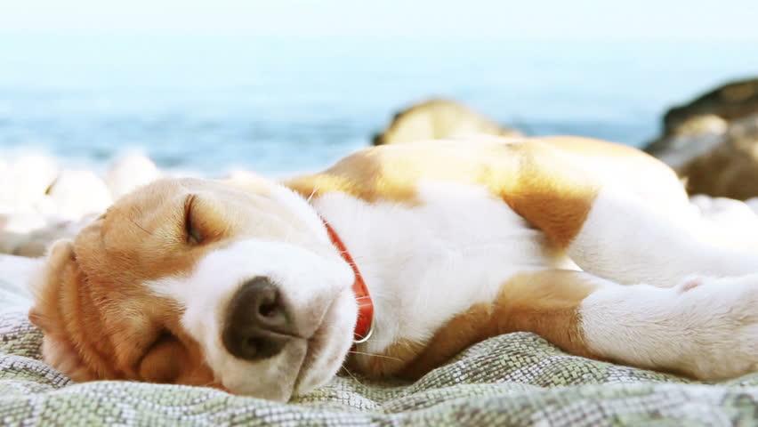 Funny beach scene: beagle puppy  dog sunbathing on the sea coast