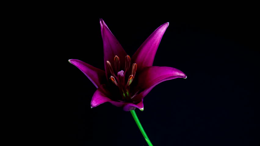 Timelapse of purple lily flower blooming on black background