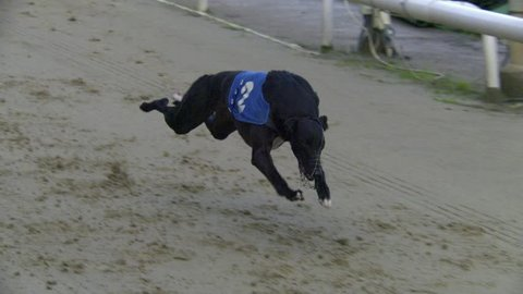 Greyhound racing slow motion. 500 fps high definition video of greyhounds racing.