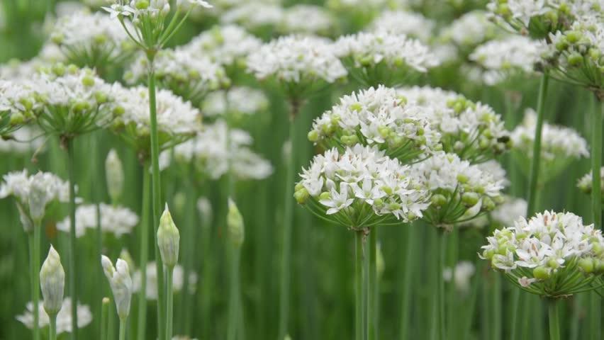 Header of Allium Tuberosum