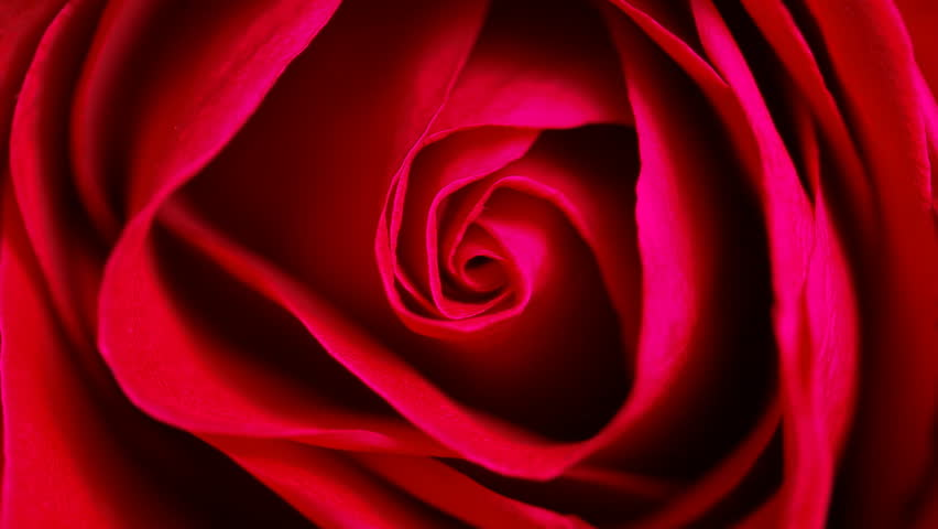 Close up of red rose can use for background Top view circle tracking motion realistic cinema, film, movie shot