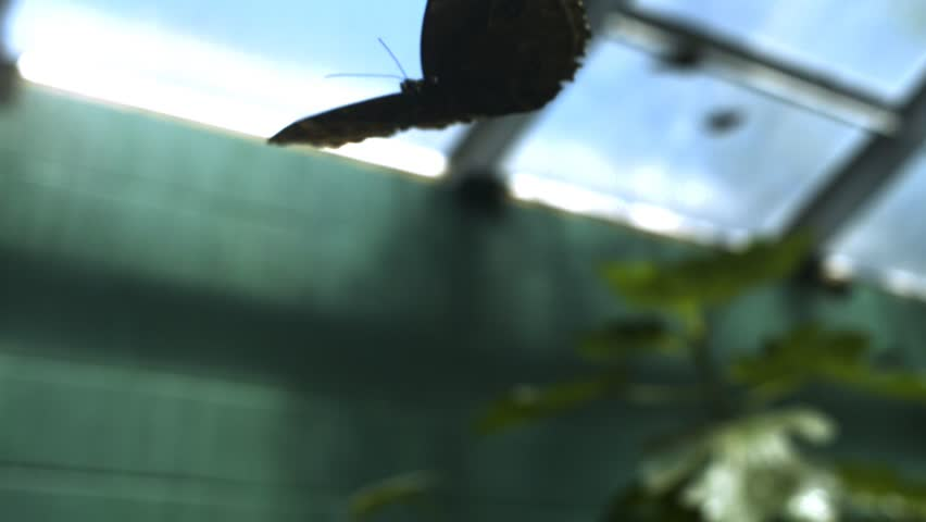 Close-up of butterfly flying in slow motion with legs curled indoors