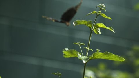 A brilliant bright blue winged butterfly dives in slow motion towards a leafy green stalk