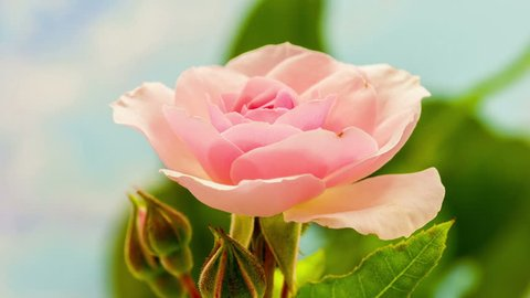 Video of a pink rose blossoming/Rose blossoming