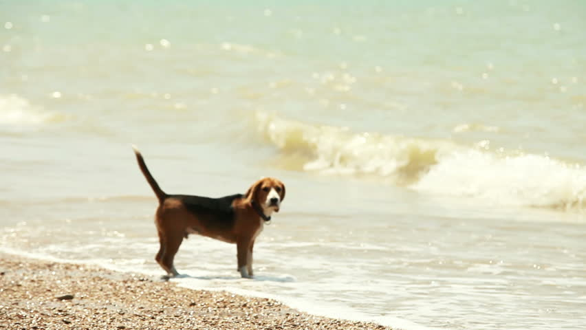 Funny beagle puppy wants to swim but afraid waves
