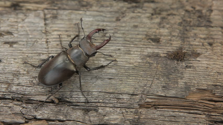 Movement of stag beetle in different directions. Composite.