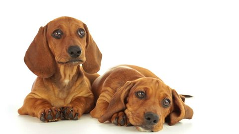 Dachshund puppies. One puppy is calm. The second puppy shakes his head. White background