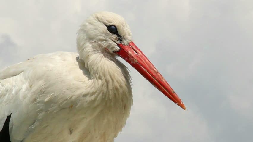 Stork close up shot, orange beak, white fur on wind