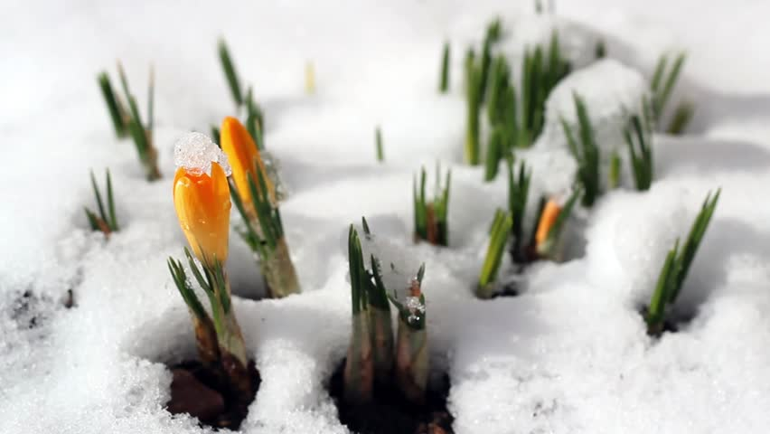 Spring time lapse winter snow melts flower crocus. Early spring flowers growing from the snow.