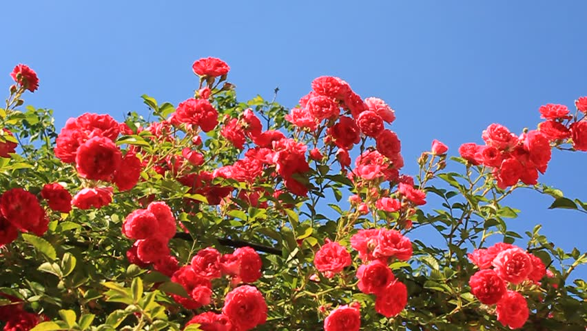 Red Roses With Green Leafs In Garden Stock Footage Video 4460564 |  Shutterstock