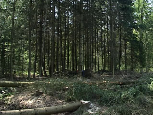 Cutting down a pine tree with a chainsaw, tree falls down.