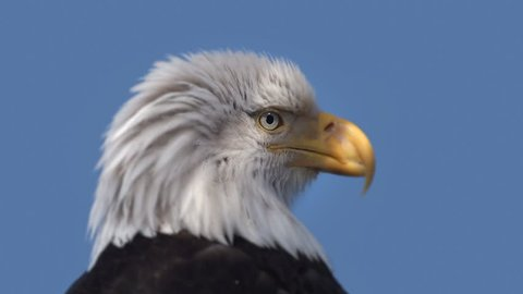 Close up view of an eagle against a blue background looking around.