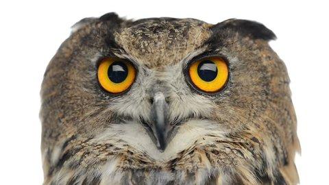 Close-up of an Eurasian eagle owl looking at the camera