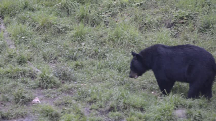A black bear while eating