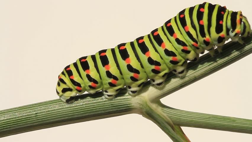 Caterpillar moving on a stem