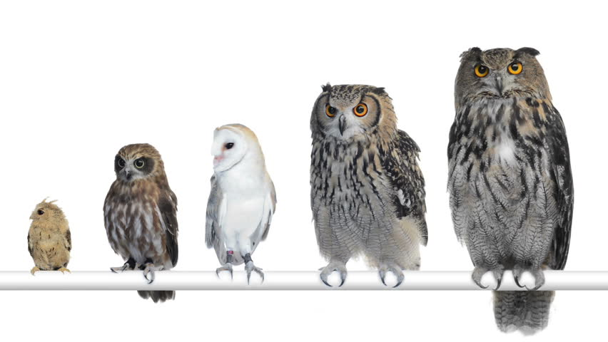 Group of Owls perched and looking around | Shutterstock HD Video #4570754