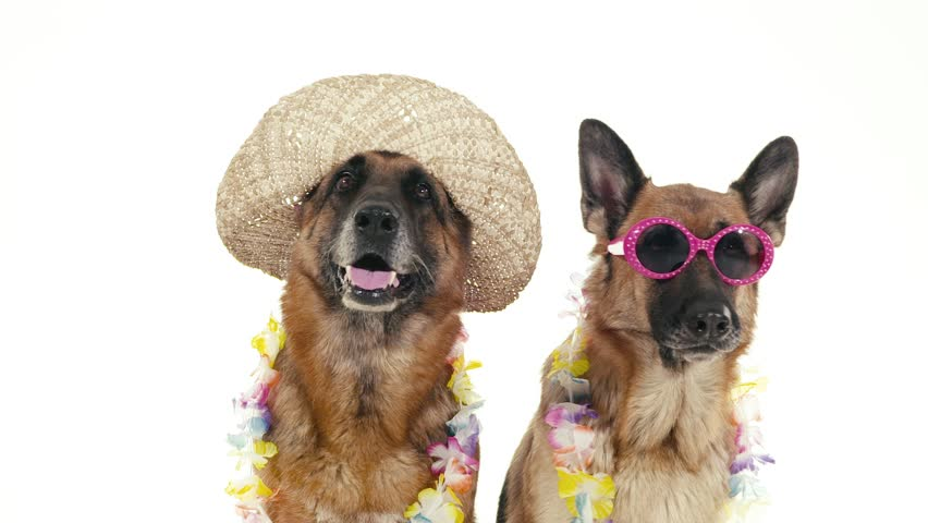 Pets, animals and behavior, two funny pedigreed german shepherd dogs with hat and sunglasses. Studio shot, white background. Part 9 of 14 | Shutterstock Video #4576841