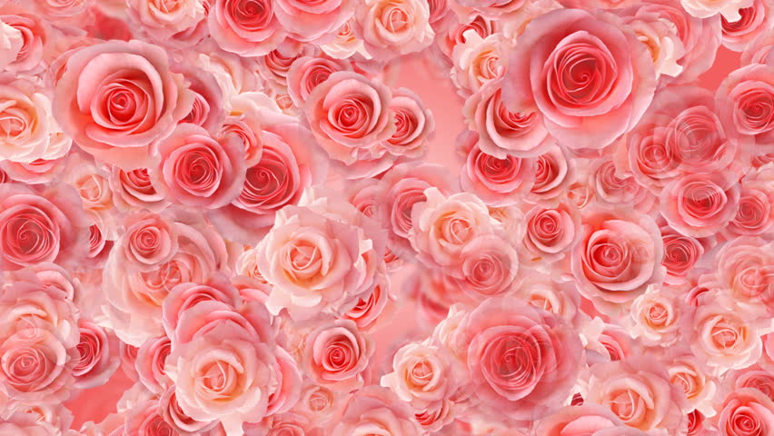Pink roses are falling on a pink background high quality - Pink roses background hd ...
