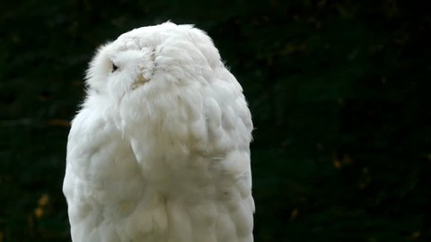 Snowy owl (Bubo scandiacus).