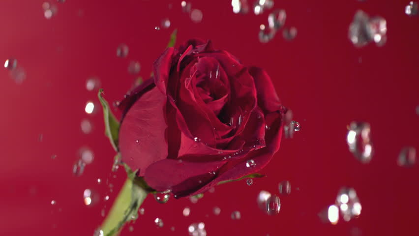 Valentine's Day, water drops on red rose, slow motion