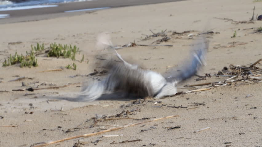 Damage from industrial fishing - fishing or long line. Seagull dies because entangled in fishing line with the bait, littered coast and ocean, human influence, clogging of water, by-catch | Shutterstock HD Video #4620884