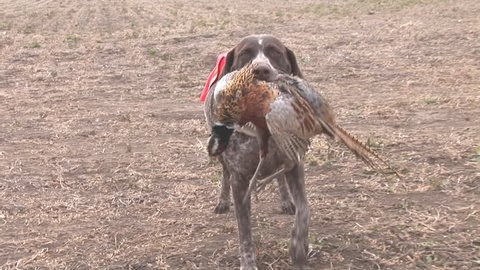 Hunters hunting Ring-necked Pheasant in South Dakota corn field. German short-haired Pointer