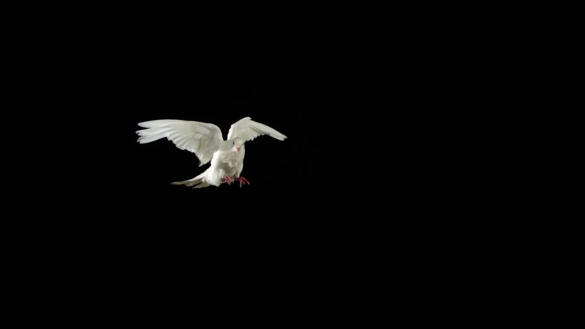 White bird flapping on black background shooting with high speed camera, phantom flex. | Shutterstock HD Video #4629434