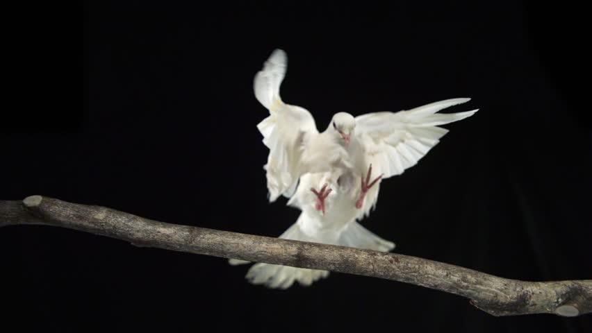 White bird landing on branch shooting with high speed camera, phantom flex
