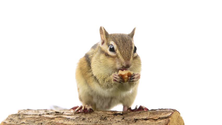 Chipmunk eating walnuts on a tree stump, isolated...
