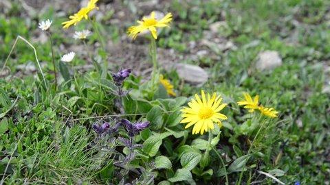 Arnica flower in european alps. Herbal plant.