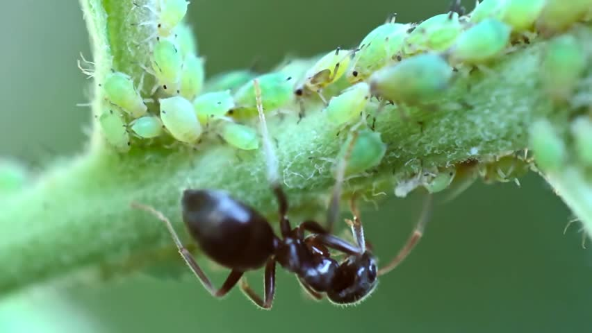 A rare shot of a shepherd ant tending its flock of aphids on branch.