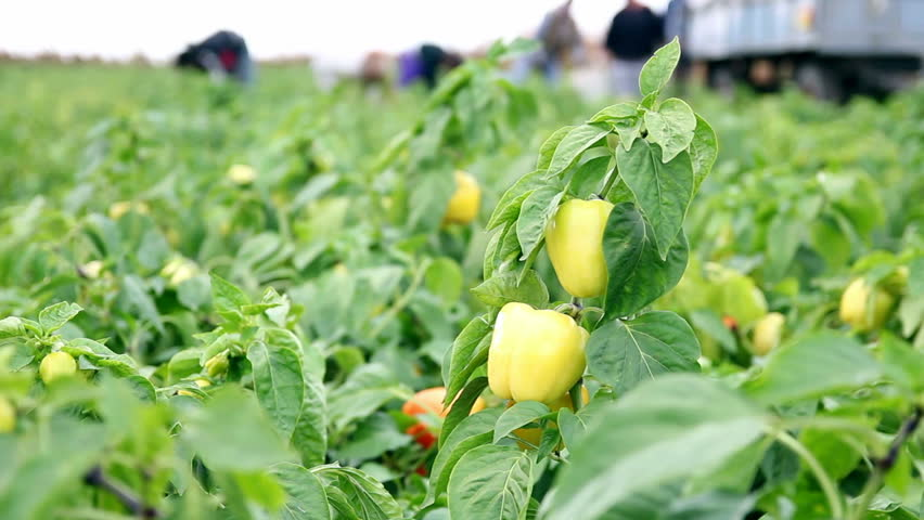Harvesting Yellow Bell Peppers in a Field. Vegetable Growing. Ripe yellow bell peppers on the vine with group of field workers in the background.