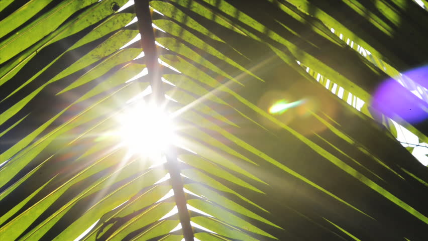 Shot of sunlight through palm frond, Kolkata, West Bengal, India