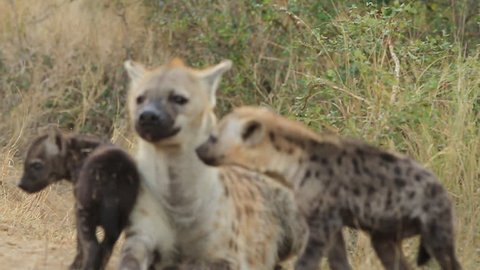Hyena cubs submissive and loving behaviour to Mum