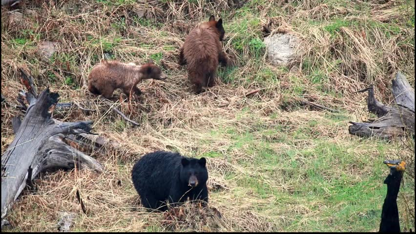 Black Bear and cubs foraging in the pouring rain