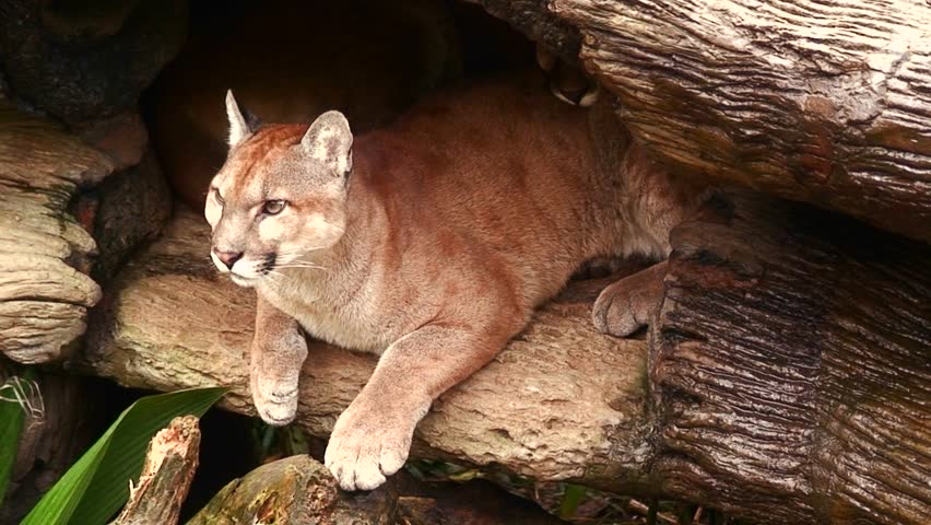 A puma or mountain lion in his den in Costa Rica.