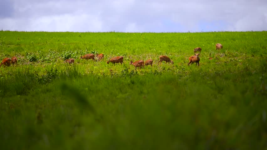 Deer walking on green grass field | Shutterstock HD Video #4878230