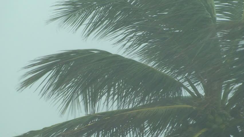 Hurricane Palm