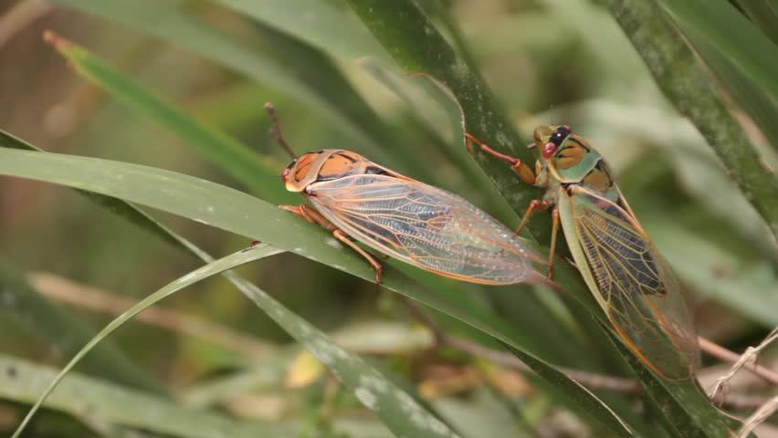 Header of cicadidae