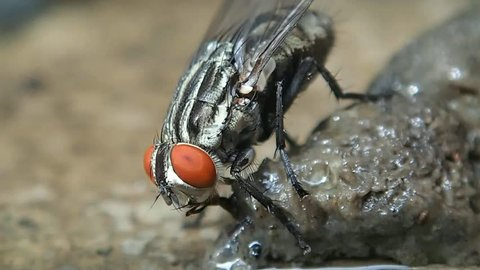 Macro clip of housefly with amazing detail of head, abdomen, thorax, legs, wings, and hairs