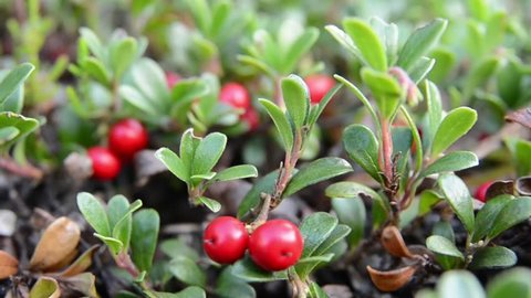 bearberry growing in the wild