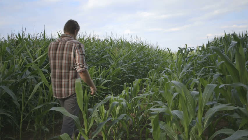 MS PAN Father and son playing in corn field | Shutterstock HD Video #4905356