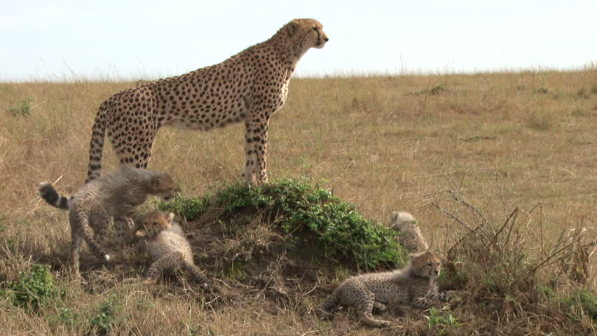 cheetah mother and her cubs