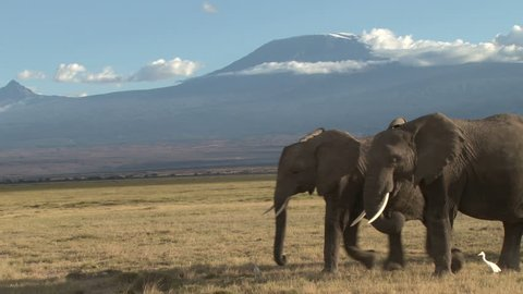 close up of elephants walking with kilimanjaro in the back ground