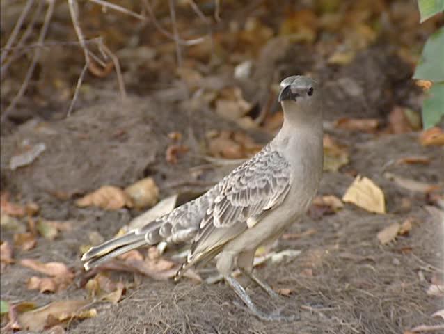 Great Bowerbird (chlamydera nuchalis) on ground near bower.