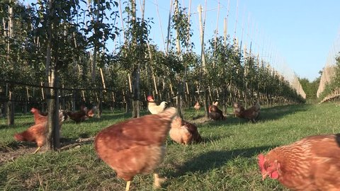 Domestic Chickens in an apple orchard